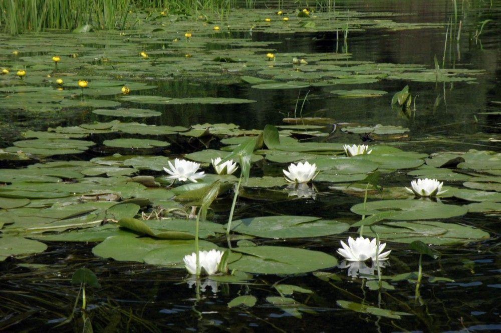 озеро с камышами и кувшинками картинки каталогом типовых