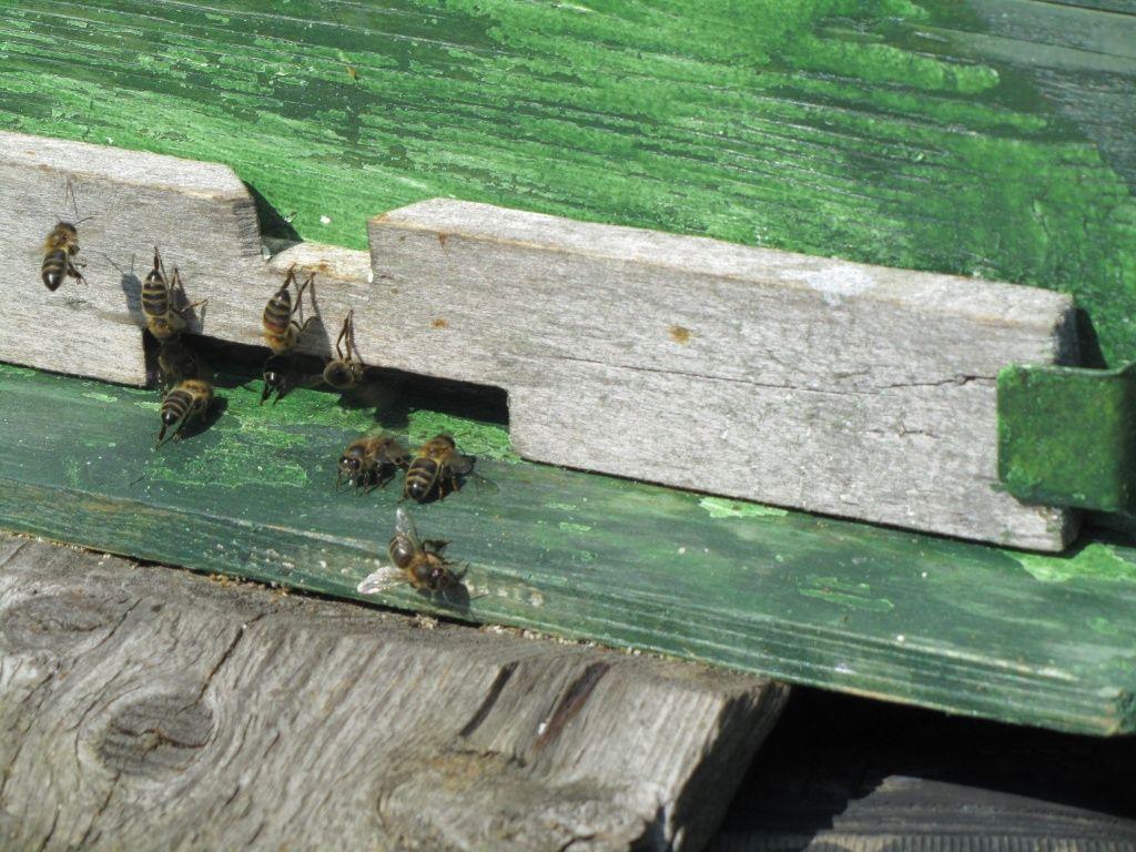 Пчела в среднем живет всего месяц.jpg
